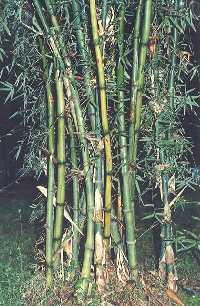 Iron Bamboo